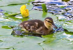 Downy swimmer (Osdu) Tags: bird nature water animal duck waterlily wildlife duckling swimmer wildduck blinkagain