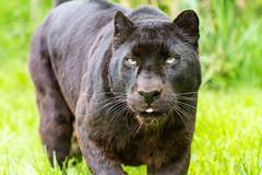 Wildlife Heritage Foundation - May 2013 (patrick-walker) Tags: cat canon fur eos patrick walker bigcat 7d jaguar canon100400 100400 wildlifeheritagefoundation whf anawesomeshot canon7d flickrbigcats