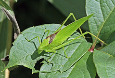 Scuddrie  ailes oblongues / Oblong-winged Katydid (alain.maire) Tags: canada nature insect qubec orthoptera tettigoniidae insecte orthoptre oblongwingedkatydid amblycoryphaoblongifolia scuddrieailesoblongues
