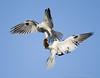 White Tailed Kite Exchange (DeeDee Gollwitzer) Tags: flying hawk falcon prey stoop raptors illusive foodexchange strikefromabove whitetailedkited deedeegollwitzer elanusleucurys