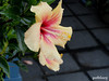 A yellow pink Hibiscus (pat.bluey) Tags: yellow australia hibiscus newsouthwales 1001nights warilla flickraward 1001nightsmagiccity hennysgardens sunrays5