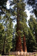 General Sherman (K e v i n) Tags: california ca vacation tree nature outdoors sierranevada sequoianationalpark generalsherman sequoias giantforest canoneosdigitalrebelxti