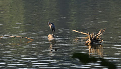 Heron Watch (BKHagar *Kim*) Tags: bird heron water river alabama leisure fowl blueheron waterfowl elkriver week37 athensal riversong focus52 bkhagar julesphotochallengegroup alabamafocus52