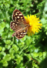 """Speckled Wood Butterfly.. • <a style=""""font-size:0.8em;"""" href=""""http://www.flickr.com/photos/57024565@N00/9920902925/"""" target=""""_blank"""">View on Flickr</a>"""