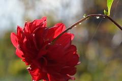 September 25 (deta k) Tags: flowers macro berlin germany deutschland flora natur pflanzen blumen raindrops blten regentropfen sooc nikond5100