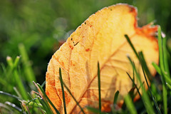 I feel like a wet seed wild in the hot blind earth. (stjernesol) Tags: autumn light green fall golden leaf bokeh magical inthegarden iamtired beautifullightinabeautifulevening fallenfromtheappletree