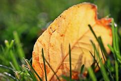 """I feel like a wet seed wild in the hot blind earth."" (stjernesol) Tags: autumn light green fall golden leaf bokeh magical inthegarden iamtired beautifullightinabeautifulevening fallenfromtheappletree"