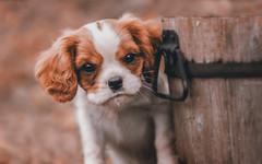 """Meet Winston"" (JanneO) Tags: dog puppy king sweden charles spaniel cavalier"