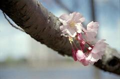 Cherry Blossom (dtanist) Tags: macro film boston analog river cherry zoom blossom massachusetts sigma charles 400 esplanade walgreens ricoh 2880mm xrm