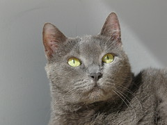 Just a touch of gray (alansurfin) Tags: pet pets face cat kat feline gray kitty gatto gatta