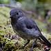 New Zealand Bush Robin