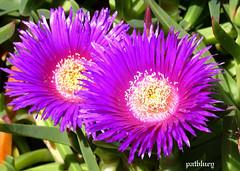 A purple Pigs Face at Mt Penang gardens (pat.bluey) Tags: new pink flowers wales south australia 1001nights pigsface flickraward mtpenanggardens karkalla 1001nightsmagiccity hennysgardens