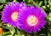 A purple Pigs Face at Mt Penang gardens (pat.bluey) Tags: new pink flowers wales south australia 1001nights pigsface flickraward mtpenanggardens karkalla 1001nightsmagiccity hennysgardens
