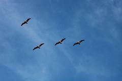 Follow the Leader (Sebastian Kaliszewski) Tags: ocean california sea sky usa santacruz beach birds america landscape rocks pacific cliffs kalifornia klif skay morze plaa ameryka wybrzee pejza pacyfik