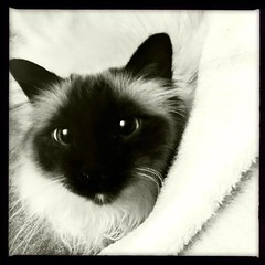 java in recovery (lisa cee (Lisa Campeau)) Tags: cute cat square point seal format birman hipstamatic