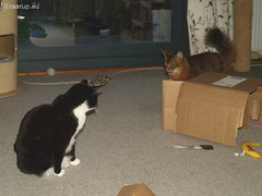 Snow White and Rags playing rough, 7 (Finn Frode (DK)) Tags: cats fight play box rags cardboard som somali snowwhite mixedbreed somalicat domesticshorthair snehvide dusharatattersandrags