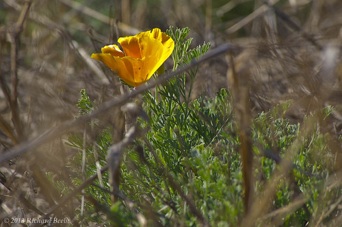 RB_SFBNWR-California Poppy