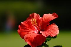 Hibiscus (ddsnet) Tags: flowers plant flower sony taiwan hibiscus 99 taipei     slt        singlelenstranslucent 99v shilinresidencechrysanthemumfestival