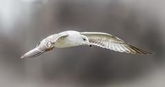 DB3T2647.jpg (notdon.com) Tags: bird flying seagull flight ringedbilledgull blinkagain bestofblinkwinners blinksuperstars bestofsuperstars blink4gallery