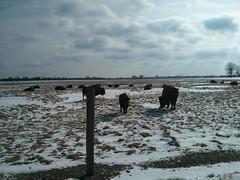 Buffalo! (ryanbytes) Tags: buffalo fermilab tatonka
