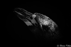 Face The Dark (meepeachii) Tags: bw animal animals zoo lowkey niksilverefex