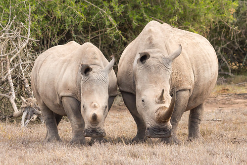 Mother and Calf, White Rhinos