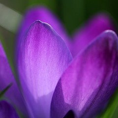 Spring in Purple (@noutyboy (Instagram)) Tags: light flower holland macro green netherlands canon eos licht is spring focus europe groen dof purple nederland thenetherlands 100mm l 28 lente krokus nieuwegein paars bloem februari 550 2014 bloei nout 550d eos550d noutyboy