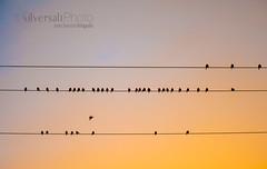 Uno dando la nota (silversaltphoto) Tags: nikon aves amanecer amarillo pajaros navarra senosiain javiersenosiain maeru d700 clickofart silversaltphoto