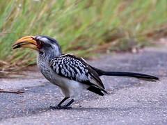 Yellow Billed Hornbill Birds of the Kruger2014 (Abspires40) Tags: birds southafrica wildlife krugerpark kruger knp