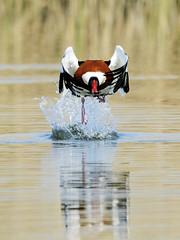 maschio di volpoca (d.carradori) Tags: beautiful natura uccelli atmosfera acquatici uccelliacquatici eliteimages fotoclubilbacchino volpoca carradori volpocamaschio