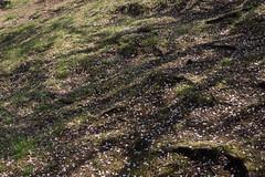 Hill of petal (kasa51) Tags: light shadow spring hill petal  cherryblossom slope   yokohamajapan