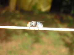 Varejeira (#Gio) Tags: berne diptera varejeira taxonomy:order=diptera cochliomyiahominivorax taxonomy:binomial=cochliomyiahominivorax inaturalist:observation=632748