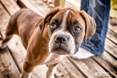 Rubby the Boxer Puppy (Fuhrtographer........Weekend warrior for now, extr) Tags: