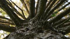 broken pinetree (XTaki) Tags: tree pinetree pine dof parkway mamaroneck
