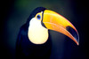 Toucan (floridapfe) Tags: color nature animal zoo toucan korea everland floridapfe