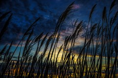 Beach Grass / Sunset, Long Island Sound, Milford, CT (Edwaste) Tags: beachgrass sunset sonya7ii edwaste edsteinerts silversandsstatepark milford connecticut ct landscape environment wetland wetlands marsh marshland sigma2135mm newengland silversandspark park beach milfordct milfordbeach