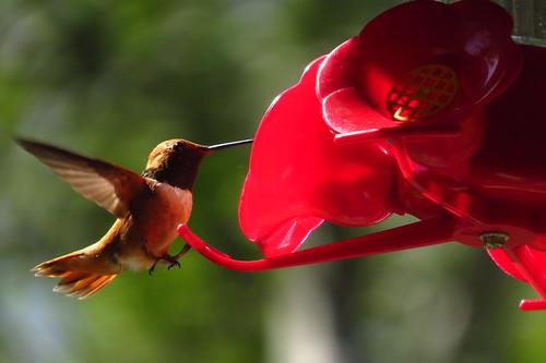 RUFOUS HUMMINGBIRD by Aquila-chrysaetos, on Flickr