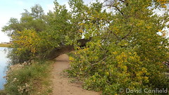 July 29, 2015 - A fallen cottonwood at McKay Lake in Broomfield.  (David Canfield)
