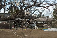 Ume (odeleapple) Tags: pentax k5 lls pentaxda 50mm ume plum field blossom