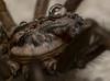 Eratigena atrica | Agelenidae (xilixir) Tags: spider spiders spin sp arachnid agelenidae macro macrodreams macroworld macrolife macros micro closeup close cute belgium nikon nikkor nikonporn nikonusers natureupclose eratigena atrica cephalothorax prosoma fovea