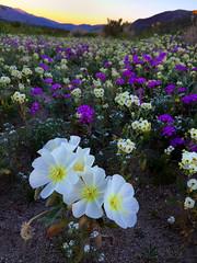 Anza Borrego Wildflowers at Sunrise IMG_7749