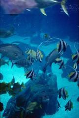 Oceanário de Lisboa, november 2014 (Teófilo de Sales) Tags: nikkormatel nikkormat nikon nikkor analog analogic film fuji fujifilm fujixtra400 50mm 35mm lisboa lisbon oceanario oceanariodelisboa oceanarium tropical fish aquarium public blue water