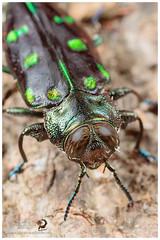 Jewel Beetle or Metallic Wood-boring Beetle / Bupréstido (Panama Birds & Wildlife Photos) Tags: jewelbeetle buprestidae beetle coleoptera metallic macro macrophotography macrowildlife wildlife wildlifephotographer wildlifephotography