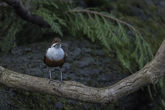 Dipper (boogie1670) Tags: dippers nesting birds canon7dmarkii sigma 150600mm sports wildlifebritish yorkshire wildlife woodland ngc