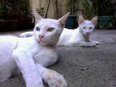 paranoid and catatonic felines (mikeeliza) Tags: street cats white kite green big eyes alley chat may ears gato manila gata paranoid cath gatto kats kass katt kato miu felis catatonic kissa ket pusa gati meo cattus maow chatz catua ikati mikeeliza