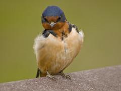 Barn Swallow with Attitude (moelynphotos) Tags: birds animals closeup wildlife ngc npc swallow barnswallow colorfulbirds moelynphotos coth5 vigilantphotographersunite vpu2 swallowwithattitude