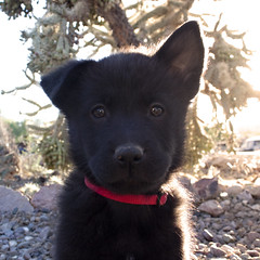 Ursula Bear the Chow Puppy at 7 Weeks Old (Immature Animals) Tags: arizona cactus rescue dog baby black cute animal animals yard puppy desert tucson jesus adorable ears az marshall whiskers derek bark chow collar immature petco microchip chowchow neuter petfinder spay koalition derekmarshall 85713 petcofoundation