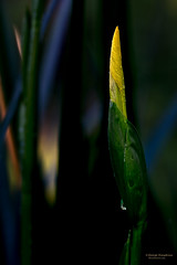 Iris-Bud (Man In The Woods) Tags: waterdrop arkansas wildflower ozarks yellowflagiris canon60d