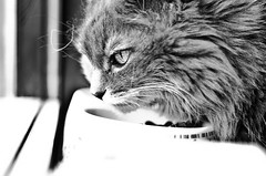 Keeping An Eye Out (RossElder) Tags: blackandwhite food white black eye window animal cat out nikon kat feline feeding watch watching kitty an boom adobe keep feed punch nibble dslr careful nip greyscale lightroom d7000