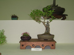 Forsythia 127 010613 (Bonsaigirl) Tags: scotland display gardening bonsai caledonian 2013